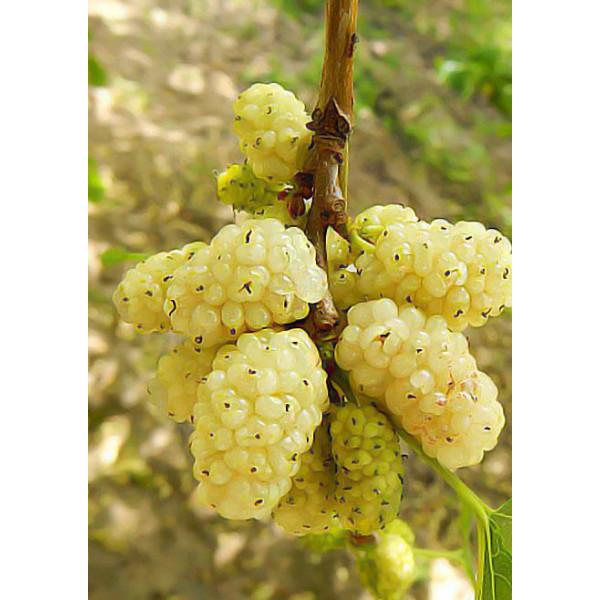 Шелковица белая крупноплодная Медовая