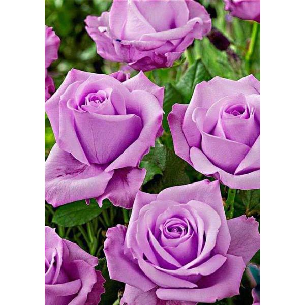 Роза чайно-гибридная Блю мун