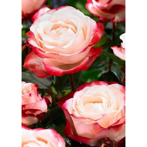 Роза чайно-гибридная Ностальгия
