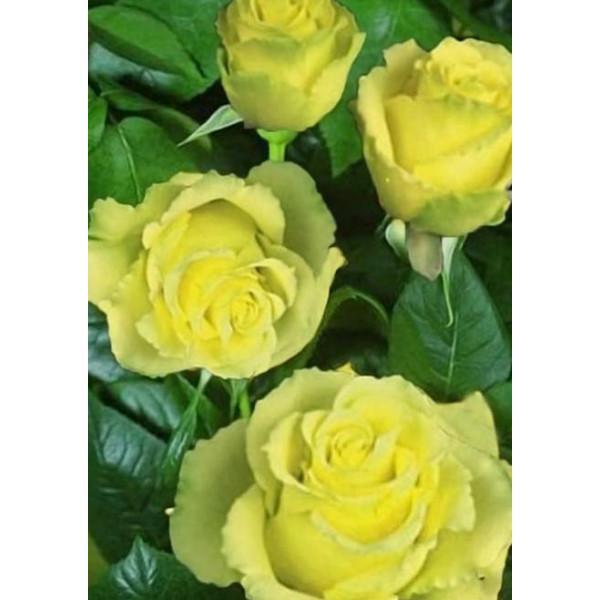 Роза чайно-гибридная Взгляд Луизы
