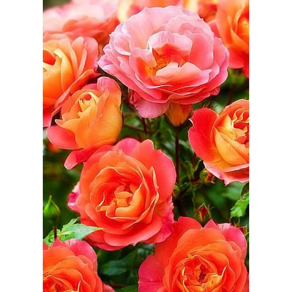 Роза флорибунда Гебрюдер Гримм